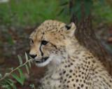 12041 - Cheetah cub / Cheetah park - Namibia