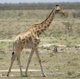 12060 - Reticulated giraffe / Etosha NP - Namibia