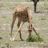12062 - Reticulated giraffe / Etosha NP - Namibia
