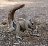 12095 - Squirrel / Etosha NP - Namibia