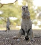 12096 - Squirrel / Etosha NP - Namibia