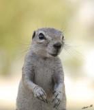 12098 - Squirrel / Etosha NP - Namibia
