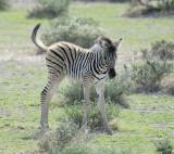 12110 - Zebra baby / Etosha NP - Namibia