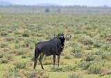 12117 - Wildebeest / Etosha NP - Namibia