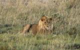 12135 - Lion / Etosha NP - Namibia