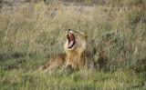 12139 - Lion / Etosha NP - Namibia