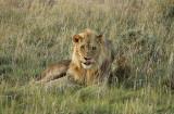 12140 - Lion / Etosha NP - Namibia