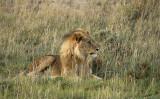 12143 - Lion / Etosha NP - Namibia