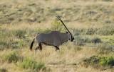 12162 - Oryx / Etosha NP - Namibia