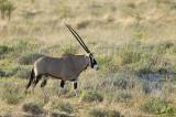 12168 - Oryx / Etosha NP - Namibia