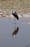 12210 - Marabou Stork / Etosha NP - Namibia