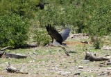 12219 - Marabou Stork / Etosha NP - Namibia