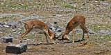 12246 - Impala / Etosha NP - Namibia