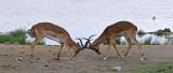 12253 - Impala / Etosha NP - Namibia