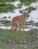 12256 - Impala / Etosha NP - Namibia