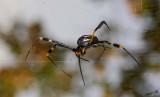 12313 - Spider / Okavango Delta - Botswana