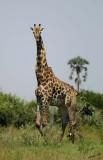12344 - Reticulated giraffe / Okavango Delta - Botswana
