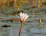 12359 - Water lily / Okavango Delta - Botswana