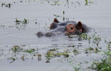 12406 - Hippopotamus / Chobe NP - Botswana