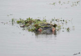 12417 - Hippopotamus / Chobe NP - Botswana