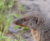 12440 - Banded Mongoose / Chobe NP - Botswana