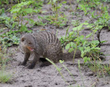 12455 - Banded Mongoose / Chobe NP - Botswana