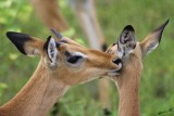 12465 - Impala / Chobe NP - Botswana