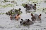 12476 - Hippopotamus / Chobe NP - Botswana