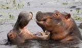 12489 - Ok, ok, do overreacting, it was only a kiss | Hippopotamus / Chobe NP - Botswana
