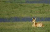 12494 - Impala / Chobe NP - Botswana