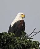 12512 - African Fish-Eagle / Chobe NP - Botswana