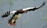 12518 - Spur-winged Goose / Chobe NP - Botswana
