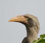 12527 - Hornbill / Chobe NP - Botswana