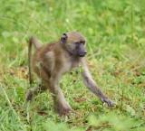 12548 - Baboon baby / Chobe NP - Botswana