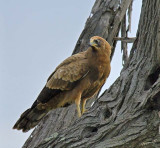 12564 - Eagle / Chobe NP - Botswana