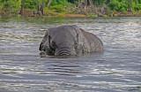 12602 - Elephant / Chobe river - Botswana