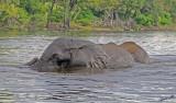 12603 - Elephants / Chobe river - Botswana