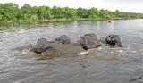 12609 - Elephants / Chobe river - Botswana