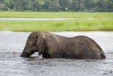 12623 - Elephant / Chobe river - Botswana