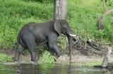 12631 - Elephant / Chobe river - Botswana