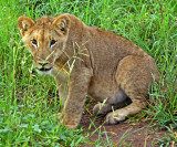 12837 - Lion cub / Victoria falls - Zimbabwe