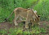 12838 - Lions cub / Victoria falls - Zimbabwe