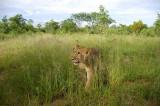 12844 - Lion cub / Victoria falls - Zimbabwe