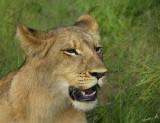 12857 - Lion cub / Victoria falls - Zimbabwe