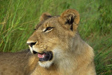 12860 - Lion cub / Victoria falls - Zimbabwe