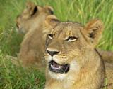 12867 - Lions cub / Victoria falls - Zimbabwe