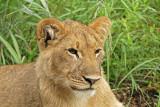 12888 - Lion cub / Victoria falls - Zimbabwe
