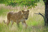 12895 - Lion cub / Victoria falls - Zimbabwe