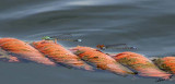 12922 - Dragonfly / Lake Kariba - Zambia