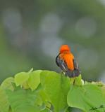 13086 - Red Bishop / Lake Malawi - Malawi